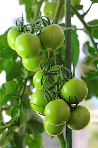 Green Tomatoes to Increase Muscle Growth?
