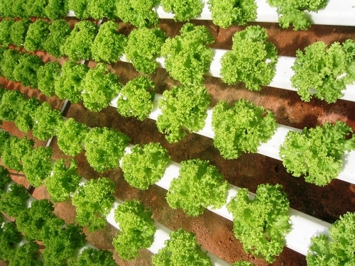 Are Hydroponically Grown Vegetables As Healthy As