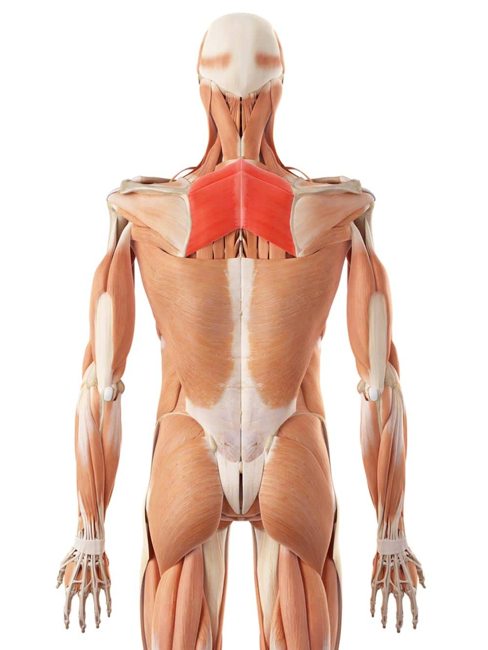 Rounded shoulders are often caused by weak rhomboids