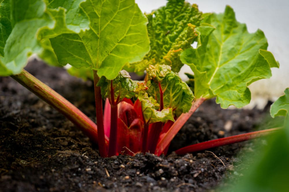 Oxalates in rhubarb
